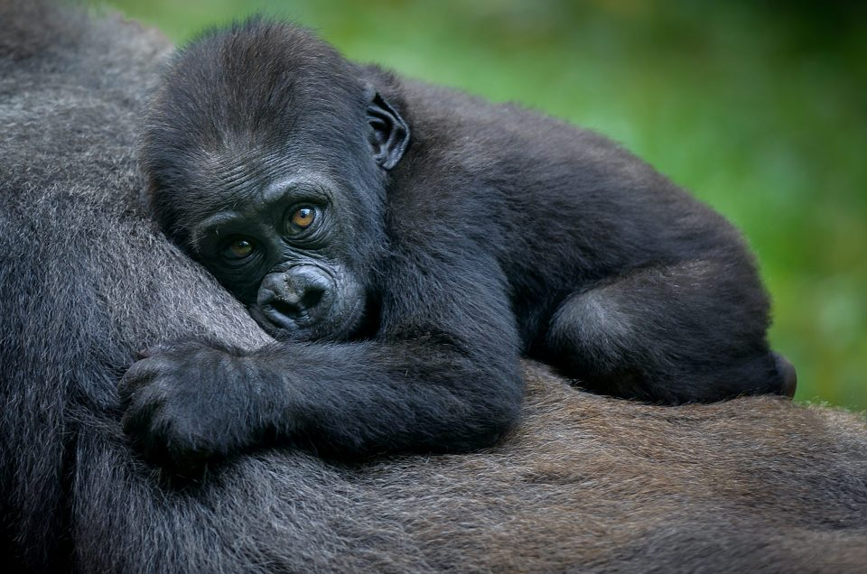 On the Trail of Rwanda's Mountain Gorillas